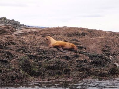 A sea lion rests on the Hoonah shore