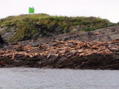 A group of sea lions in Hoonah Alaska