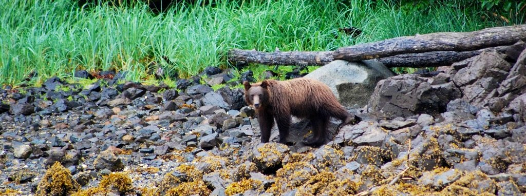 brown-bear-1024x382