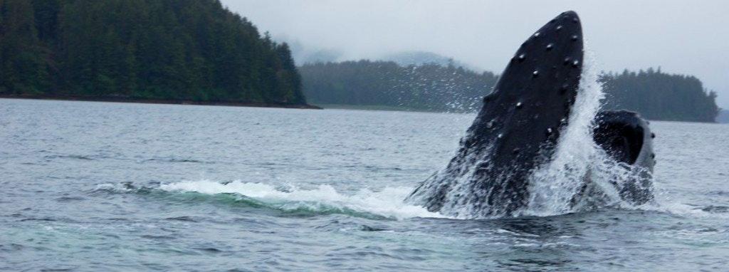 whale-breach-1024x382