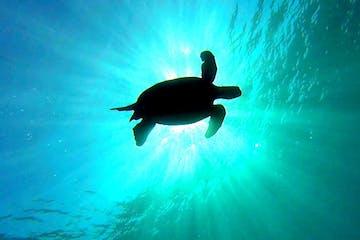 scuba turtle underwater