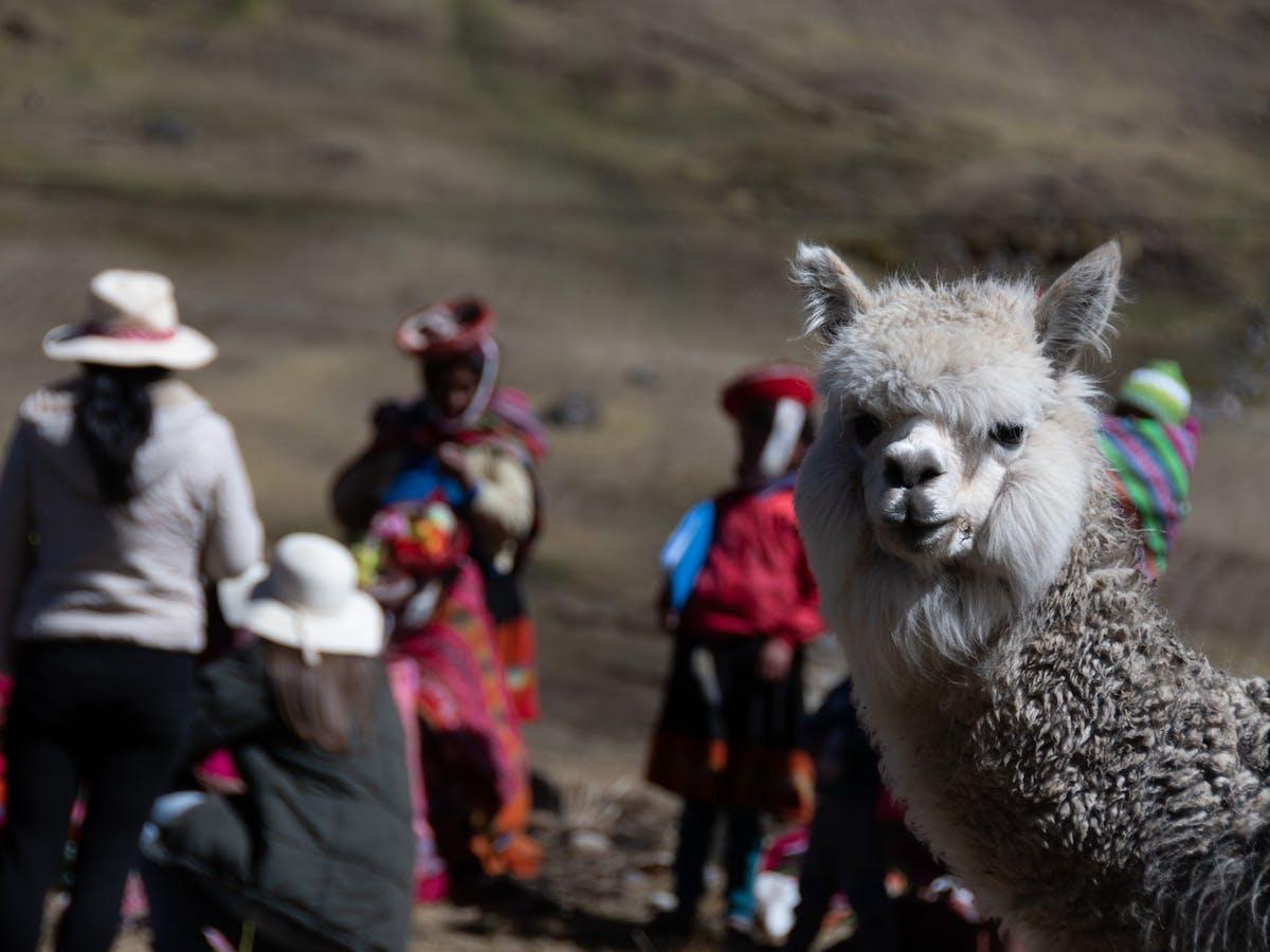 An Alpaca in Peru.