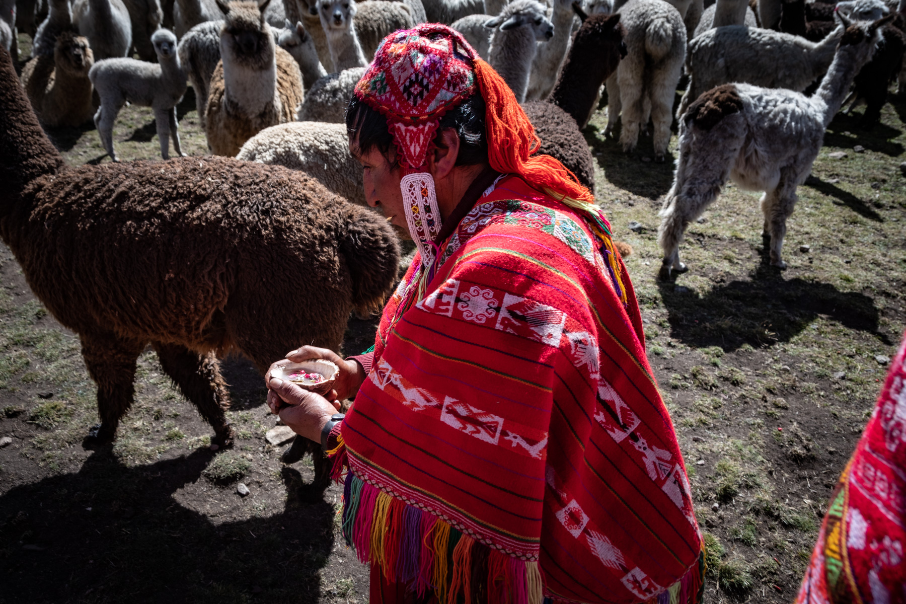Quechuan mad in traditional dress with Alpacas in the background