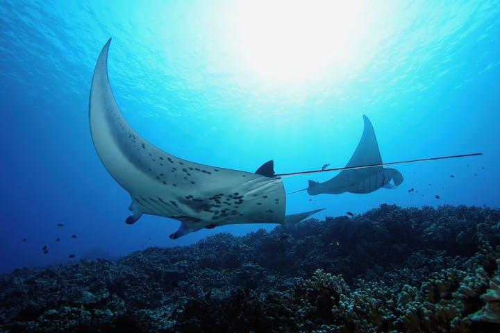 Manta Ray swimming off the coast of Hawaii
