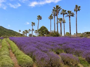 A field of lavender plants with palm trees in the background in San Diego