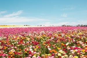 Top Instagram Spots - Flower Field