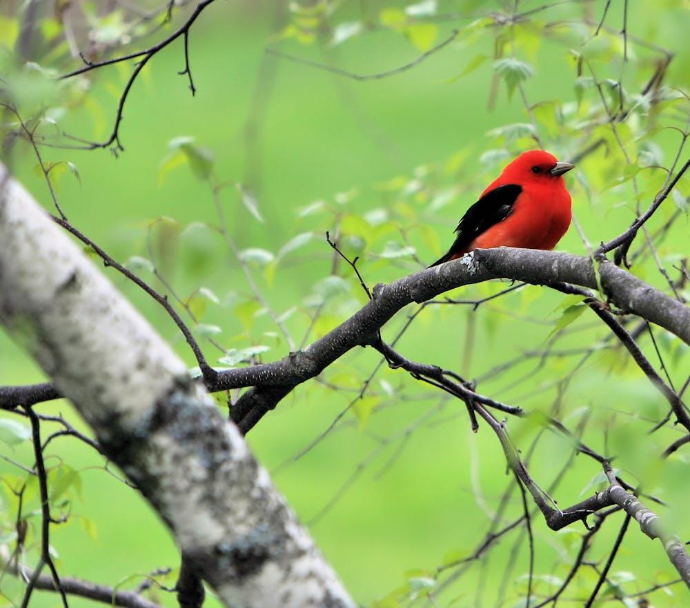 Scarlet Tannager bird of Appalachian Mountains, Blue Ridge