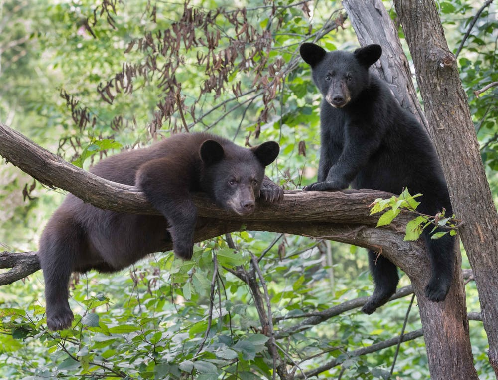 black bears in tree