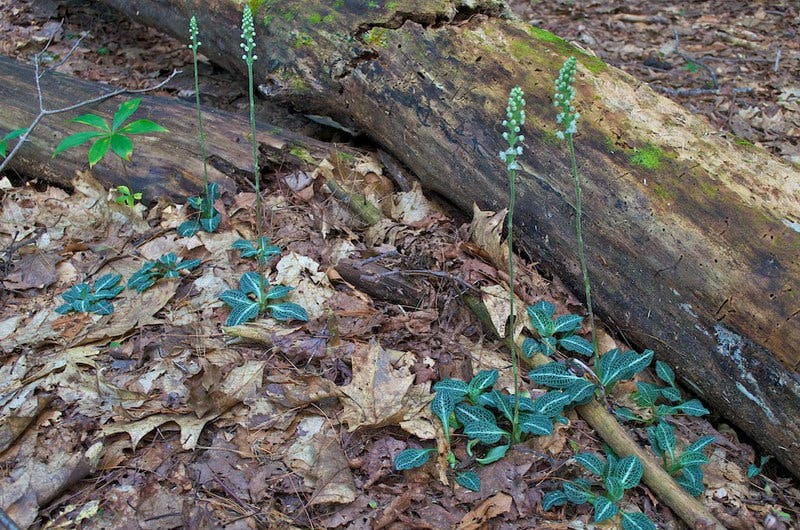 orchid native to Southern Appalachians