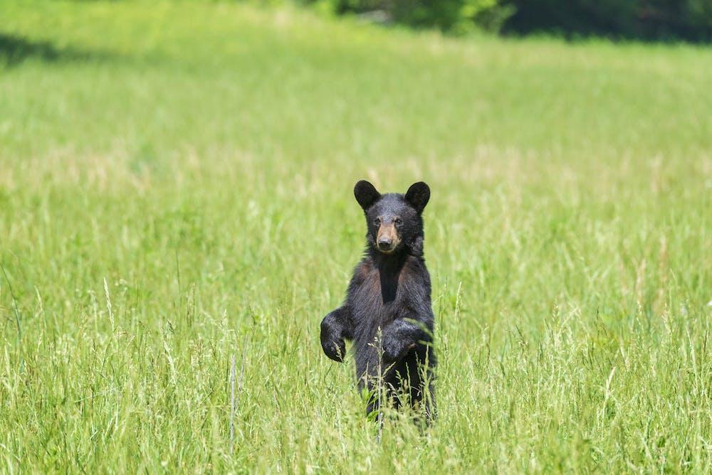 a brown bear walking across a grass covered field