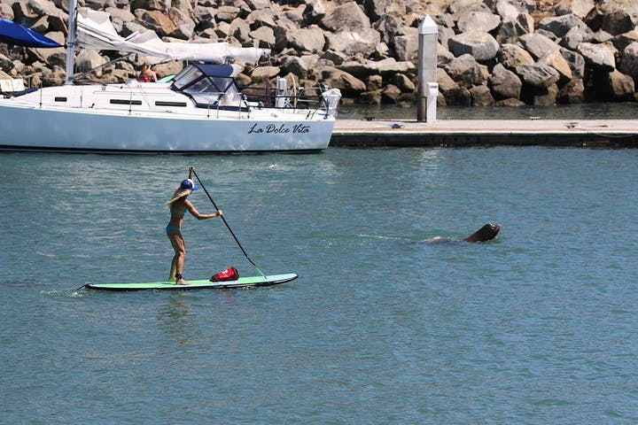 paddleboarder next to sea lion