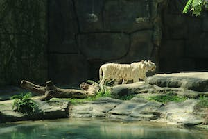 white tigers at the zoo