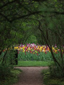 a peek into a garden with arching trees and colorful tulips ahead