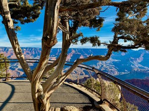a tree at the grand canyon