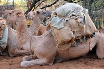 Dromedary camel, camel with one hump and light brown hair, resting with lugguge
