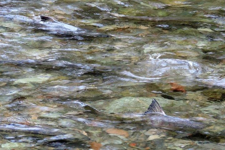 Salmon spawning in stream near Victoria, BC, Canada
