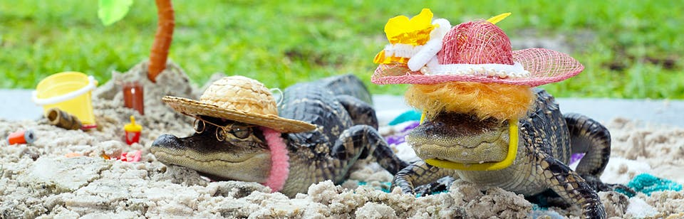 Our gators dressed up in tropical hats