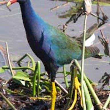 An American purple gallinule walks in the swamp