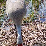 A sandhill crane tends her newborn chicks