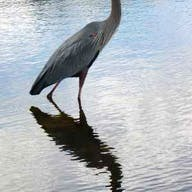 A blue heron walks in Lake Toho