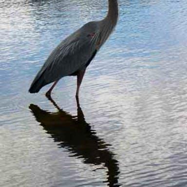 A blue heron walks in Lake Toho