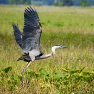A great blue heron takes flight