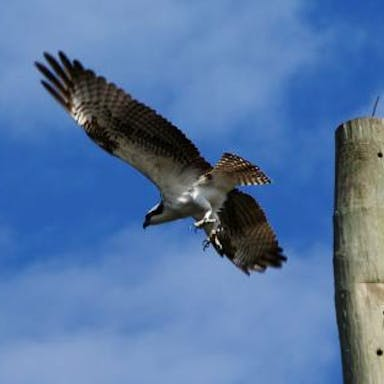 An osprey hunts in the Florida Everglades