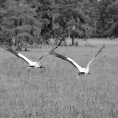 Two storks fly over the Everglades