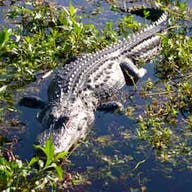 An alligator sun bathing in Lake Tohopekaliga