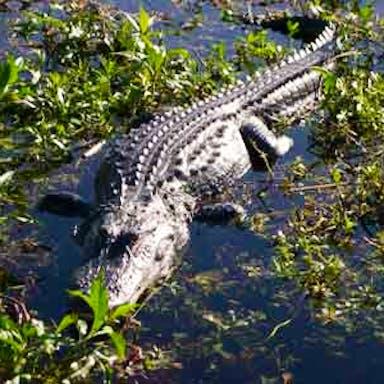 An alligator sun bathing in Lake Tohopekaliga