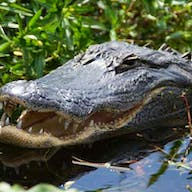 An alligator spotted in Lake Tohopekaliga