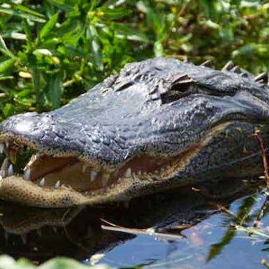 An alligator spotted in Lake Tohopekaliga