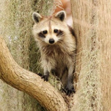A raccoon perched in a tree