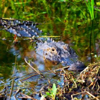 An alligator partially submerged