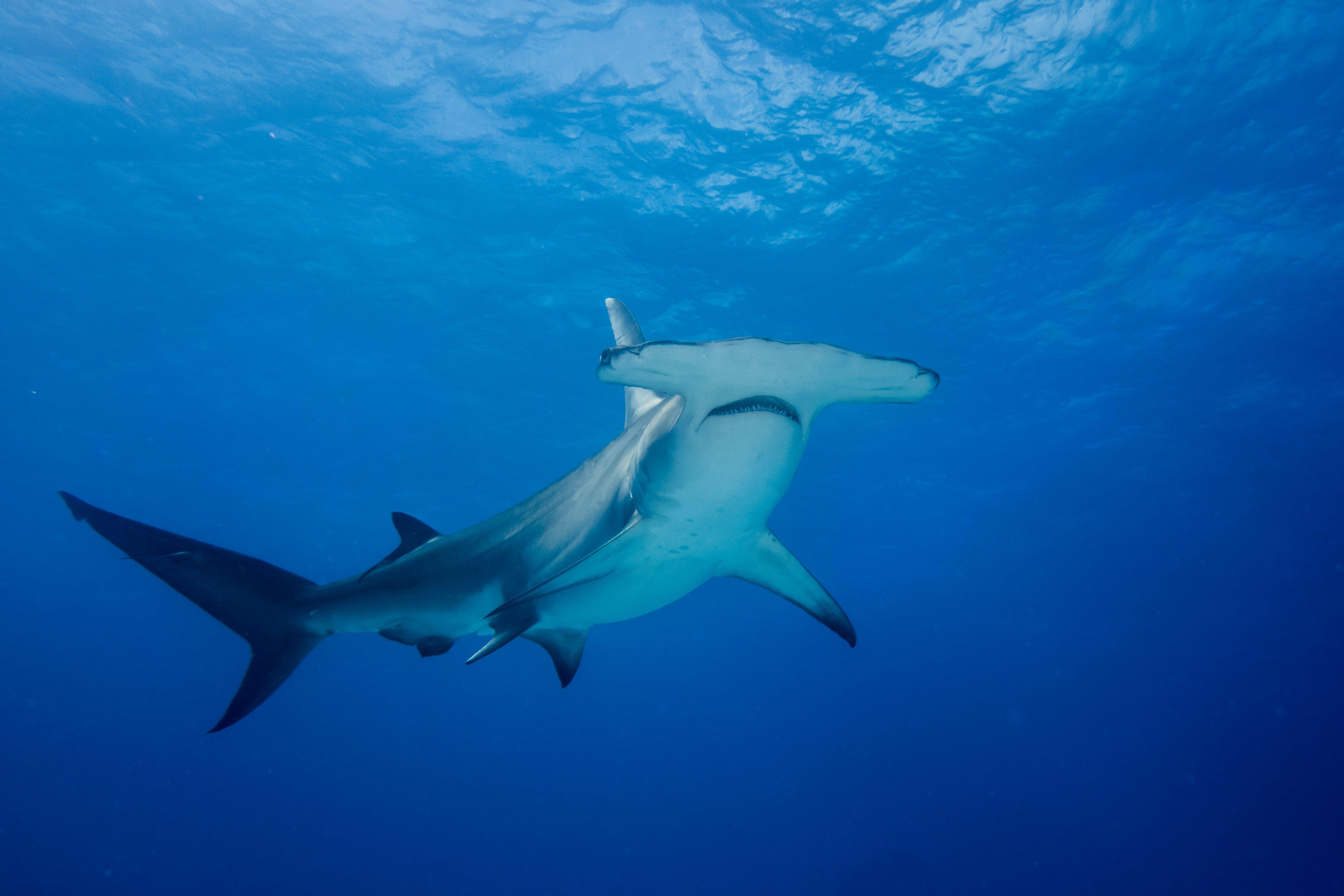 hammerhead-shark-san-diego