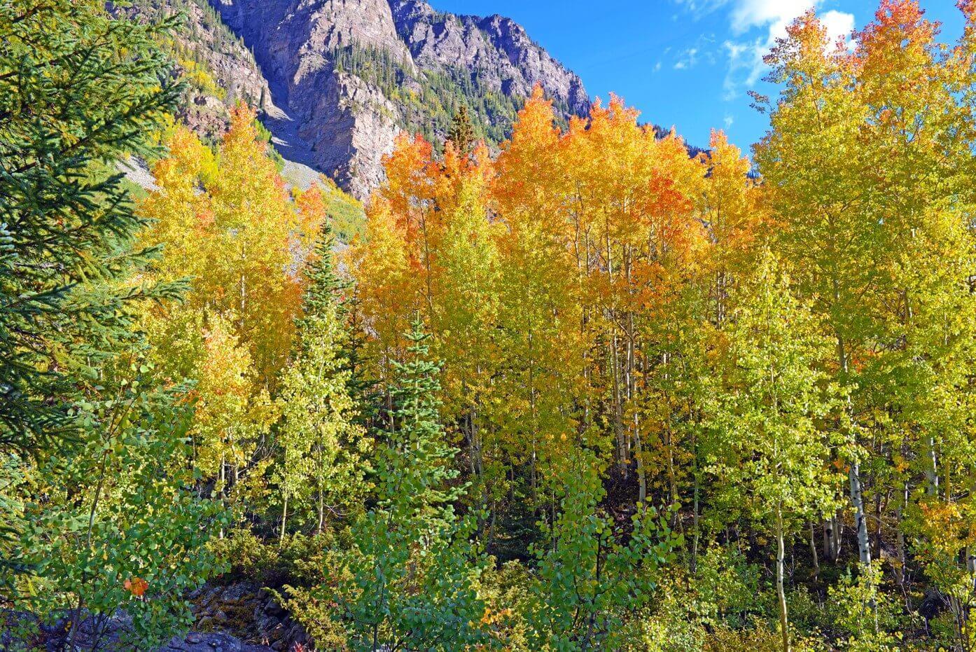 colorado fall foliage aspen