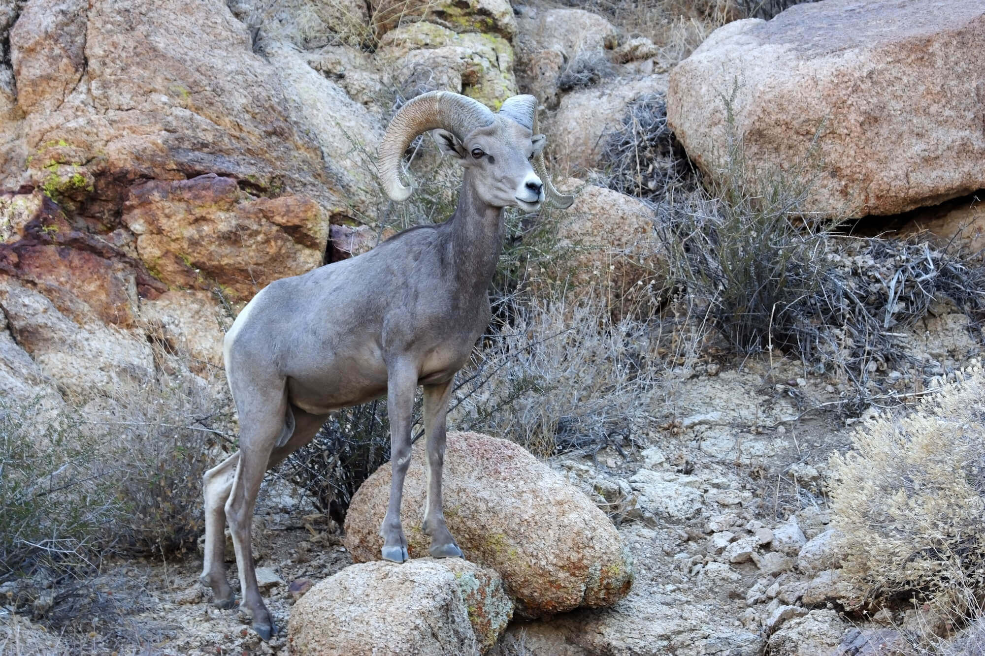 arkansas river wildlife bighorn sheep