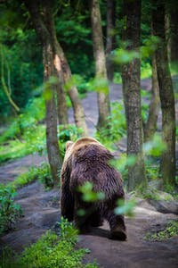 Bear wandering through the forest