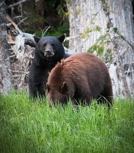 Two bears, brown and black, on Whistler mountain