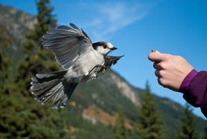 Whiskey Jack getting fed by hand in Whistler