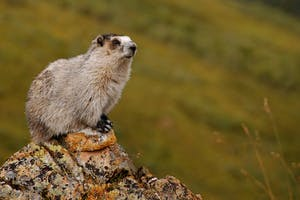 Whistler's namesake the Hoary marmot