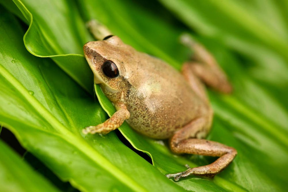 """Image result for coqui frog puerto rico"""""""
