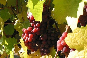 Grapes on vine in BC, Canada