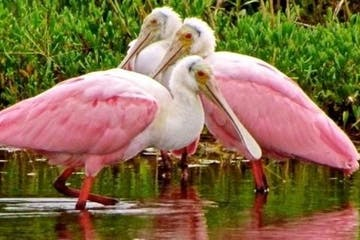 Roseate Spoonbill, pink birds