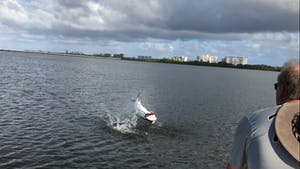 Tarpon thrashing in water