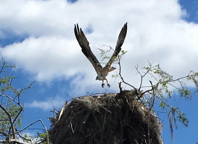 See Osprey on Airboat Wilderness-Rides Blue Cypress Lake Florida