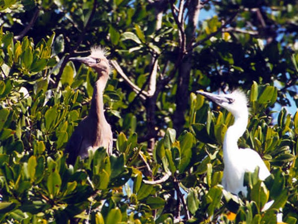 Egret chicks in the mangroves