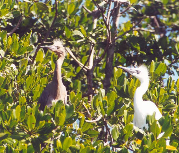 Native birds perched on tree branches in Key West, FL