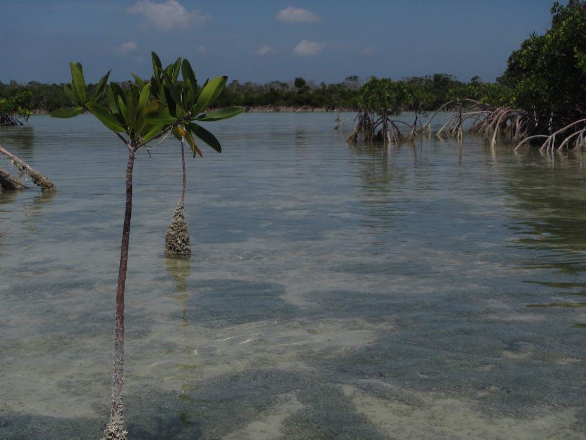 Mangrove seedlings