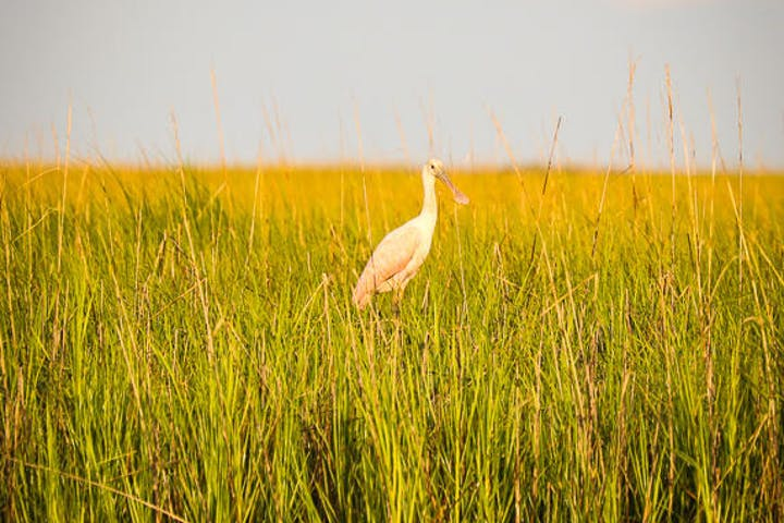 Stork in the marshes